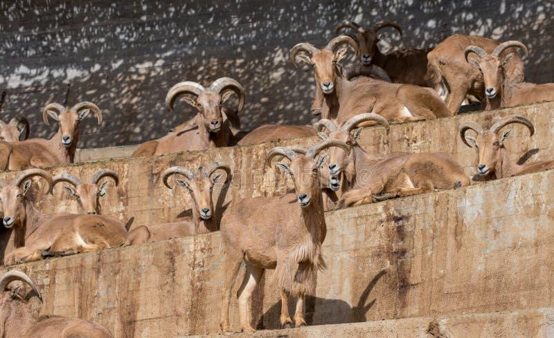 A família de cabras latino-americanos escalou acima um penhasco foto de stock royalty free