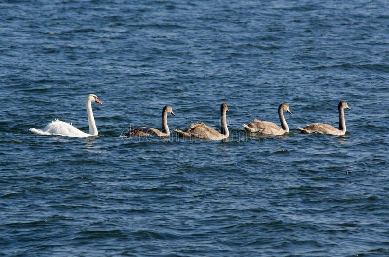 Família de cisnes mudas imagem de stock