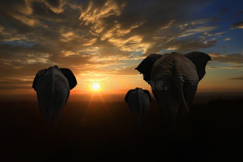 Família de 3 elefantes que andam no por do sol imagens de stock
