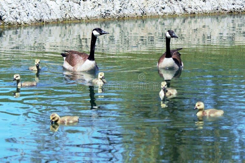 Família de gansos de Canadá imagem de stock