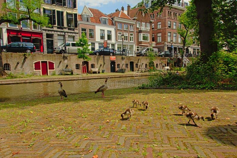 Família de gansos egípcios nos cais do canal do ` do oudegracht do ` em Utrecht imagem de stock royalty free