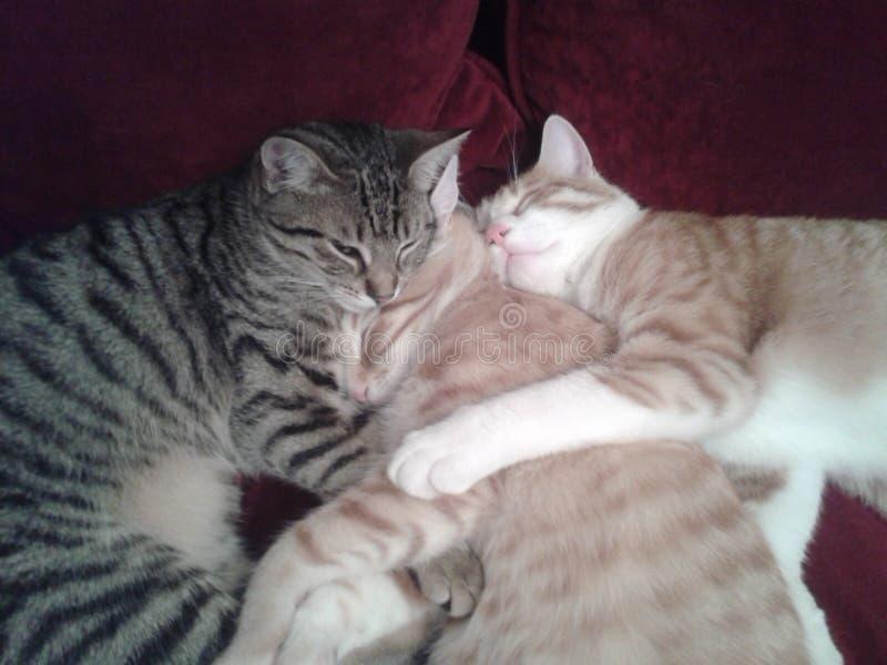 Família de gato afortunada foto de stock royalty free