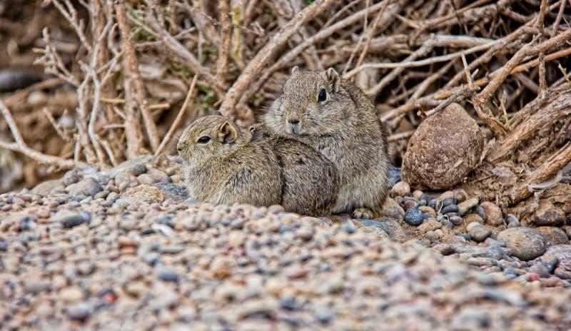 Família de Gundi do atlas do roedor que aquece-se na região ártica em Argentina imagem de stock