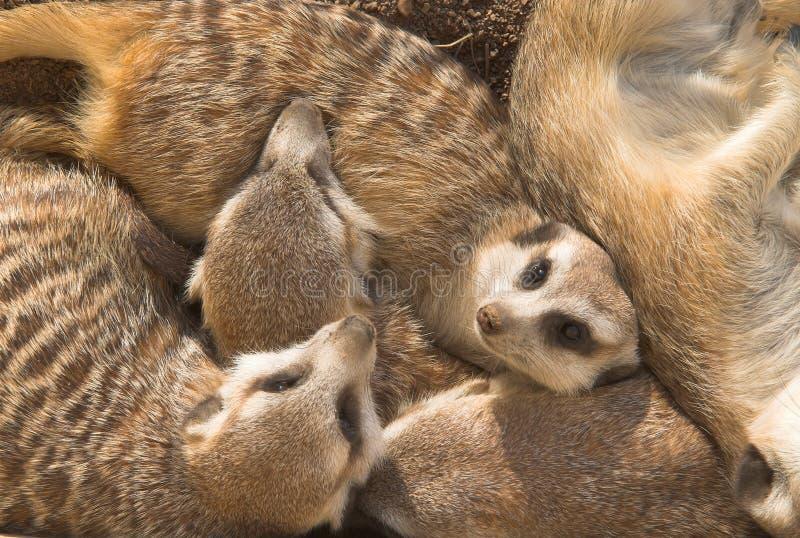 Família de Meercat foto de stock royalty free