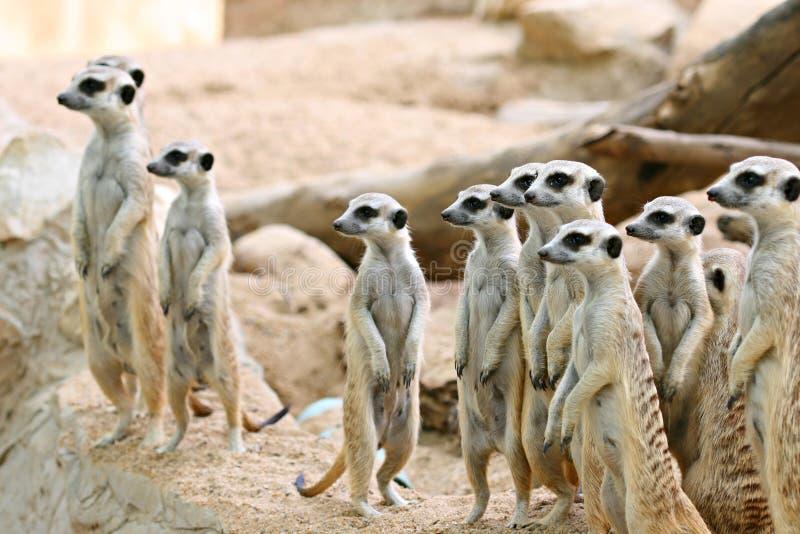 Família de Meerkats fotos de stock