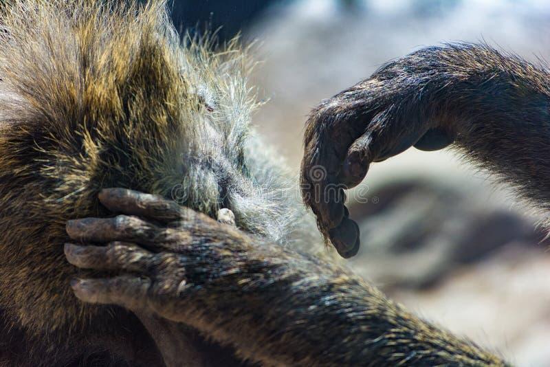 Família de preparação crescida do babuíno verde-oliva próxima acima das mãos fotografia de stock royalty free