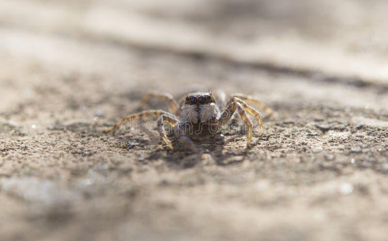 Família de salto da espécie de Salticidae da aranha largamente fotografia de stock royalty free