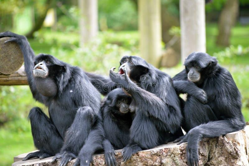 Família de Siamang Gibbon que relaxa no coto de árvore fotografia de stock royalty free