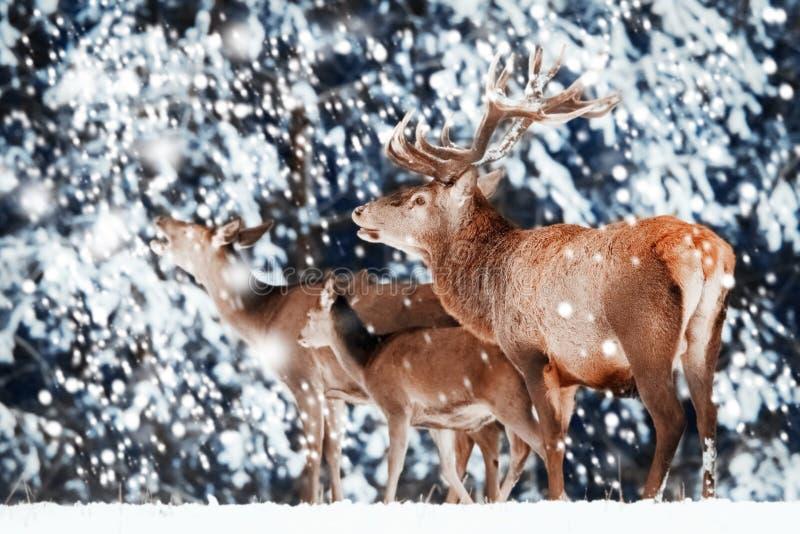 Família de veados vermelhos nobres na floresta do inverno fotos de stock royalty free