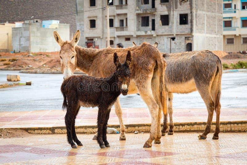 Família do asno na chuva Sidi Ifni, Marrocos imagens de stock