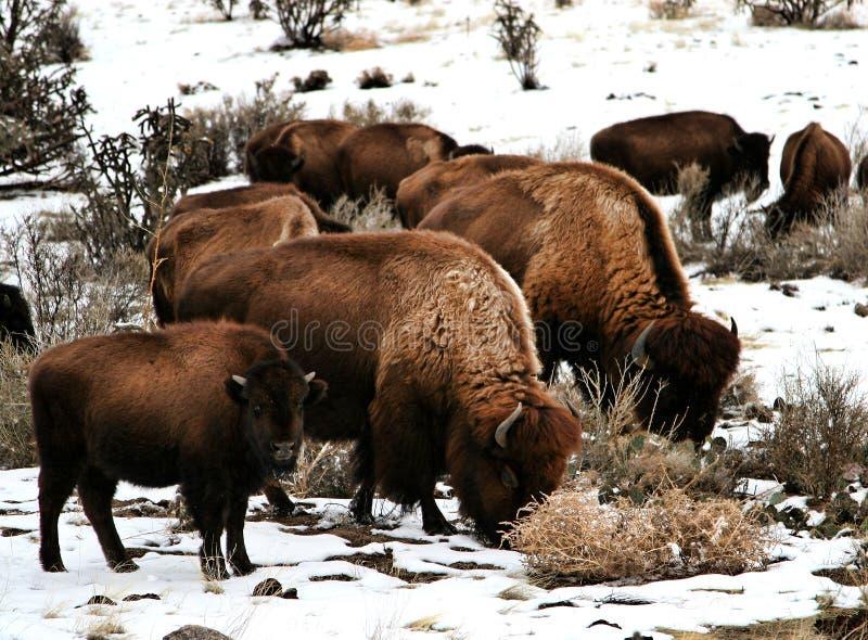 Download Família do búfalo foto de stock. Imagem de bisonte, snowy - 10063242