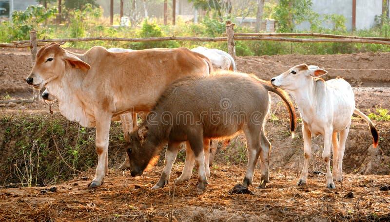 Família do búfalo e das vacas de água fotografia de stock royalty free