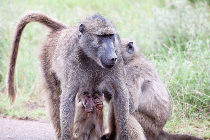 Família do babuíno verde-oliva na estrada fotografia de stock