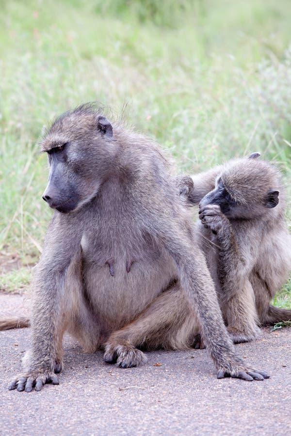 Família do babuíno verde-oliva na estrada imagem de stock