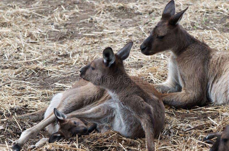 Família do canguru foto de stock royalty free
