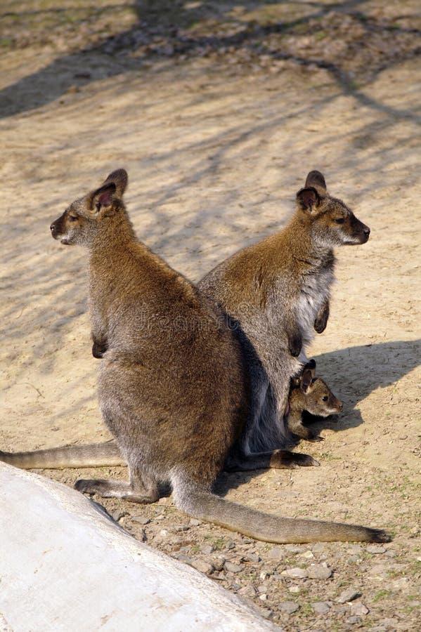 Família do canguru imagens de stock royalty free