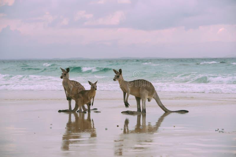 Família do canguru na praia imagens de stock