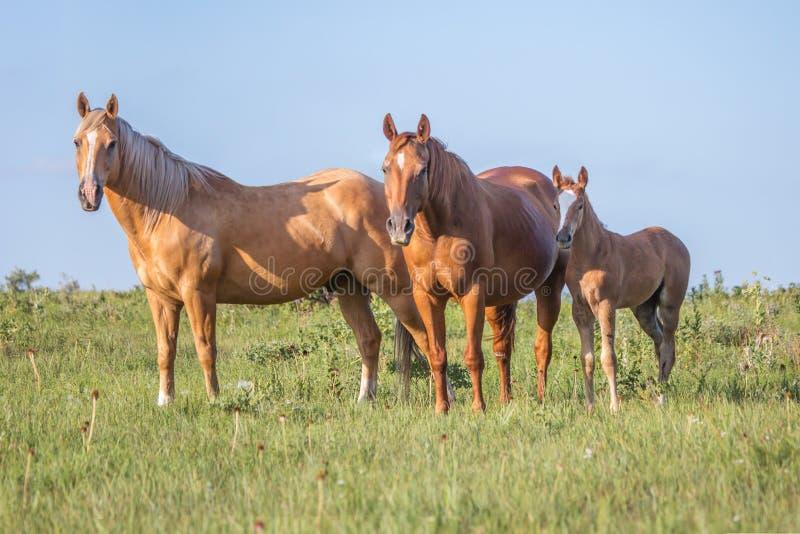 Família do cavalo imagem de stock royalty free