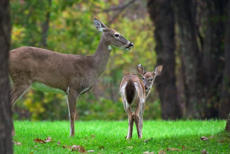 Família do cervo foto de stock royalty free