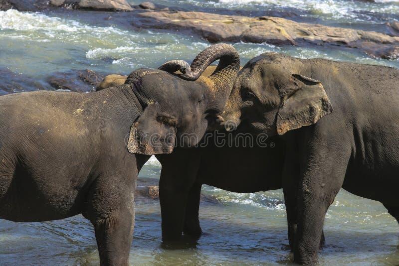 Download Família do elefante foto de stock. Imagem de ceilão, lama - 26520148