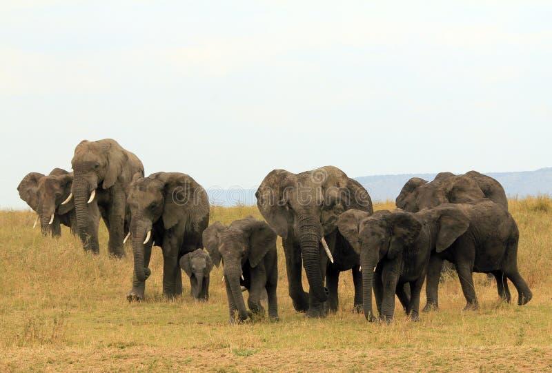 Família do elefante foto de stock