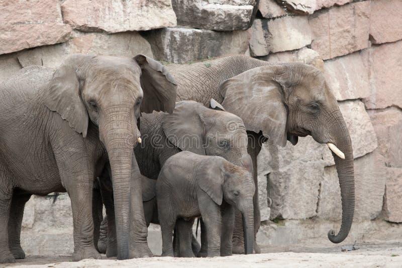 Família do elefante africano. foto de stock royalty free