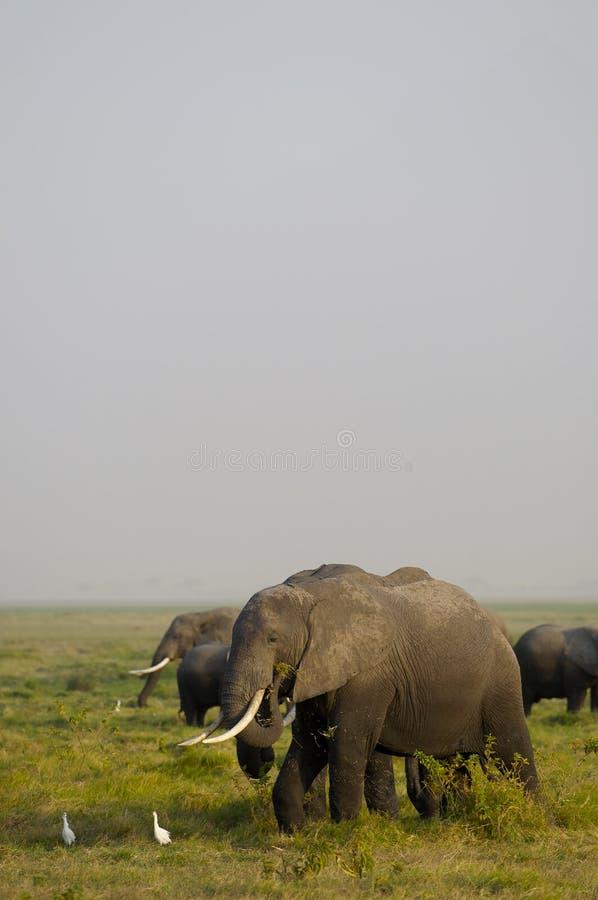 Família do elefante africano fotografia de stock