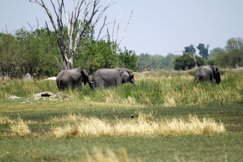 Família do elefante africano fotos de stock