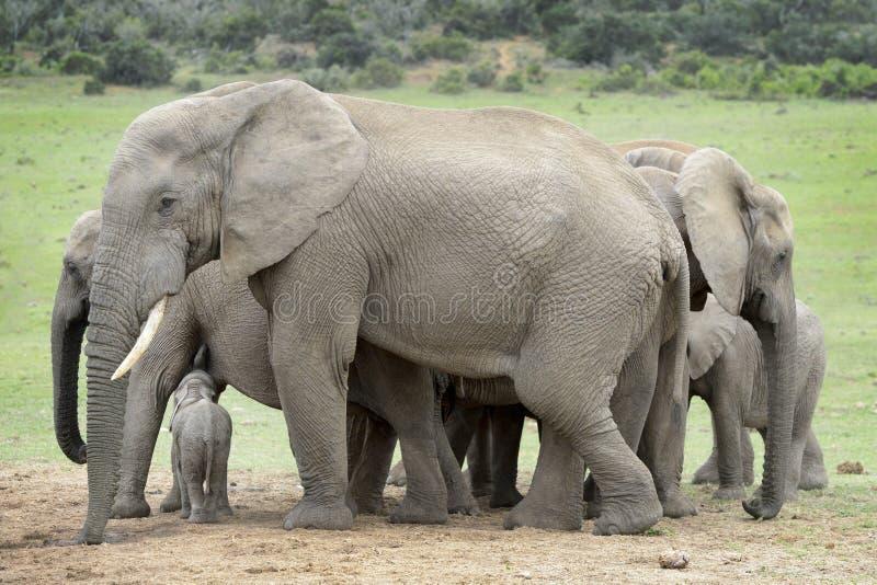Família do elefante africano com vitela minúscula imagem de stock