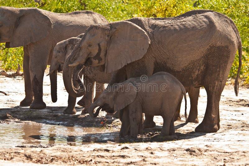 Família do elefante africano que bebe #2 imagem de stock