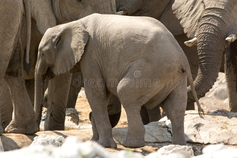 Família do elefante com a vitela no waterhole fotografia de stock royalty free