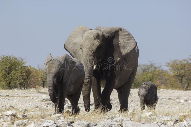 Família do elefante, Namíbia fotos de stock
