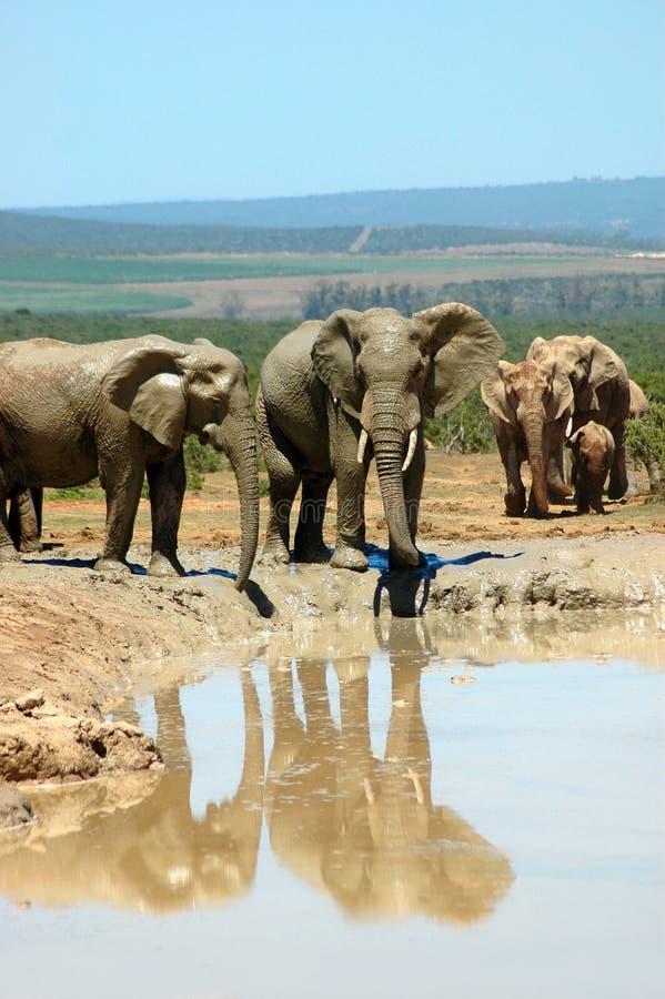 Família do elefante no furo de água imagens de stock
