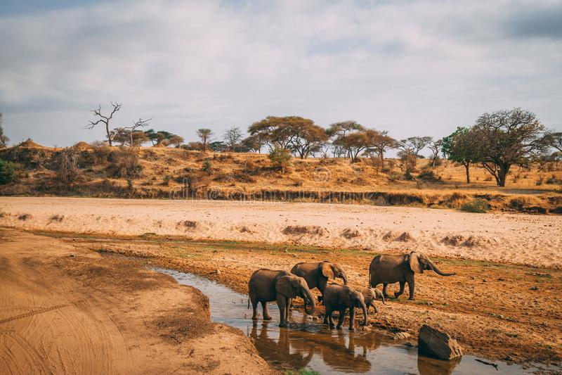 Família do elefante no furo de água no safari imagem de stock royalty free