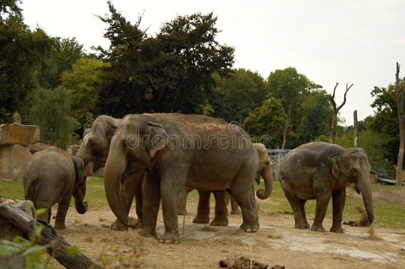 Família do elefante no JARDIM ZOOLÓGICO, Praga, república checa fotografia de stock royalty free