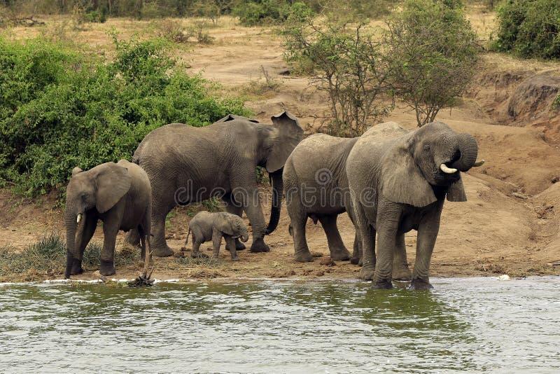 Família do elefante pelo rio foto de stock