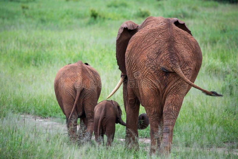 Família do elefante que anda afastado na grama alta imagem de stock