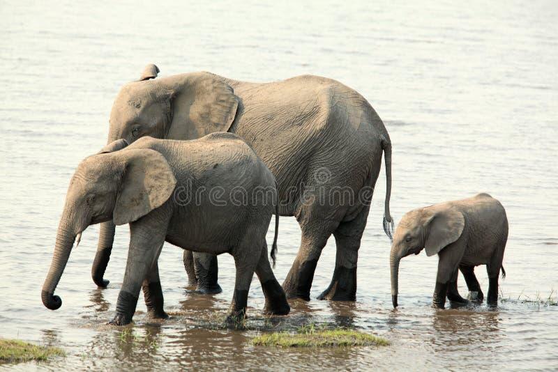 Família do elefante que anda ao longo do rio fotos de stock
