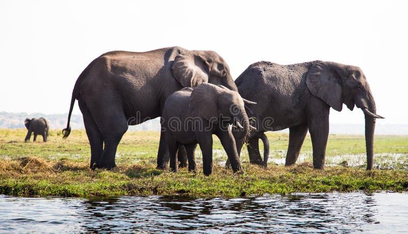 Família do elefante que pasta pelo rio fotografia de stock