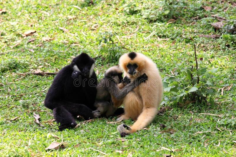 Família do Gibbon junto fotos de stock