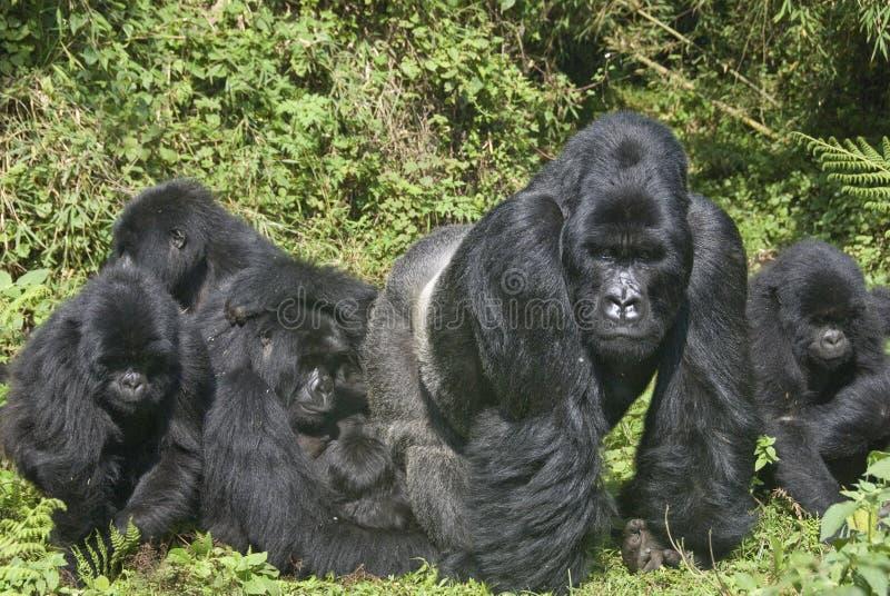 Família do gorila imagens de stock