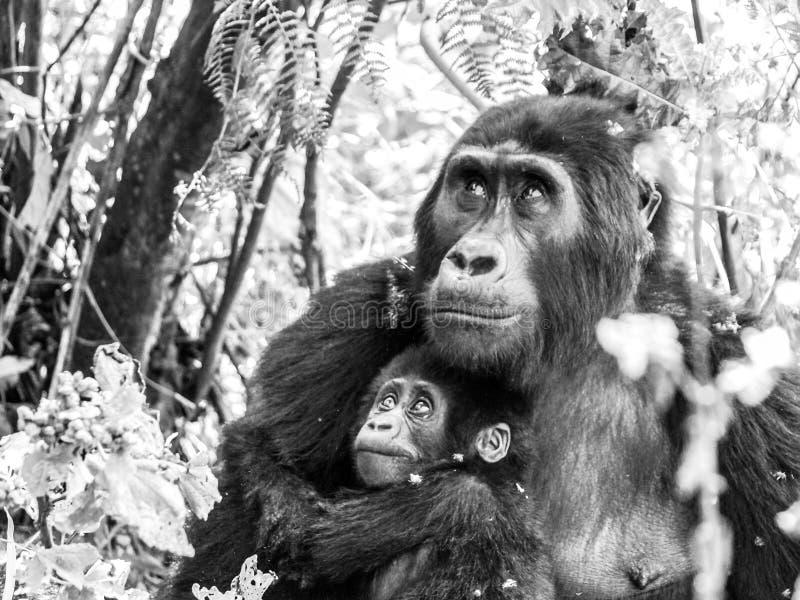 Família do gorila de montanha - bebê com a mãe na floresta, Uganda, África fotografia de stock
