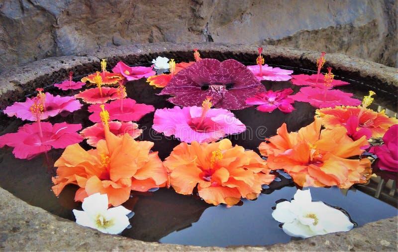Família do hibiscus da malva imagem de stock royalty free