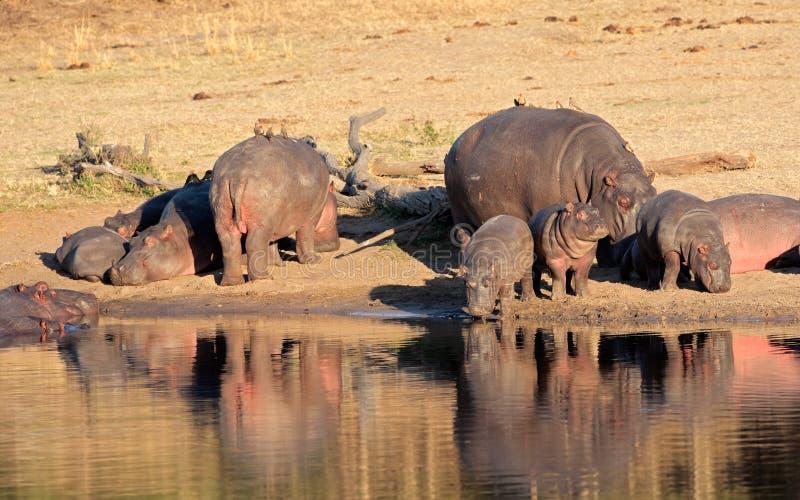 Família do hipopótamo imagens de stock