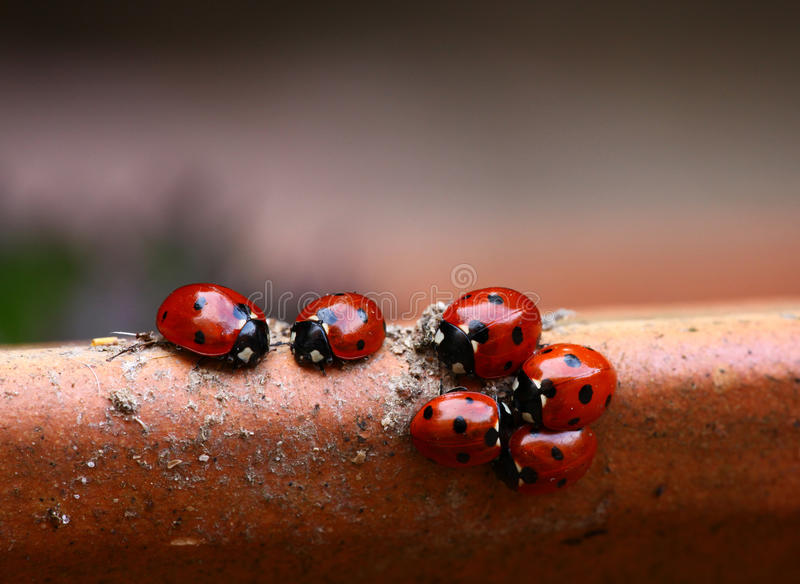 Família do Ladybug fotografia de stock