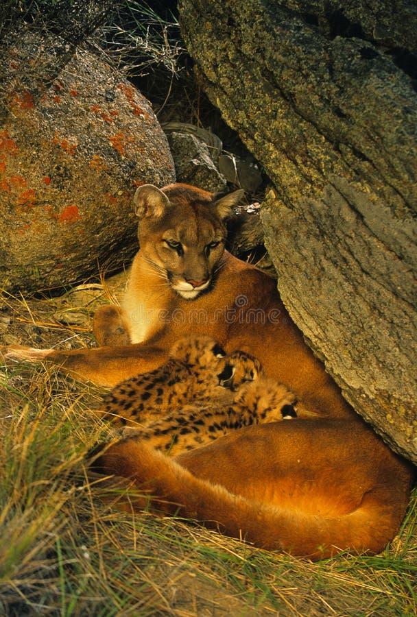 Família do leão de montanha no antro imagens de stock royalty free