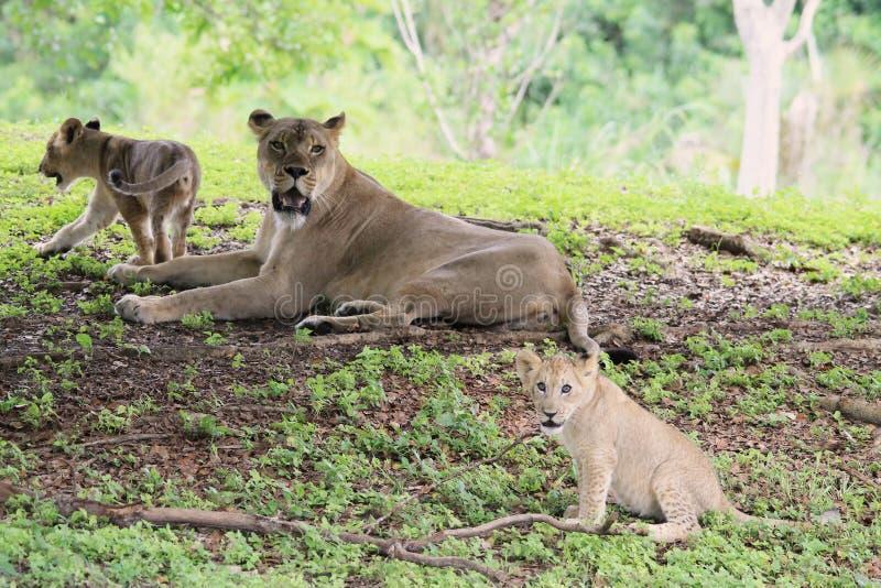 Família do leão que encontra-se na grama foto de stock