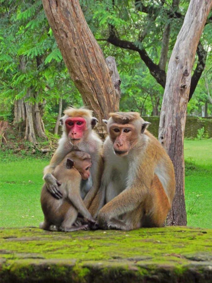 Família do macaco foto de stock