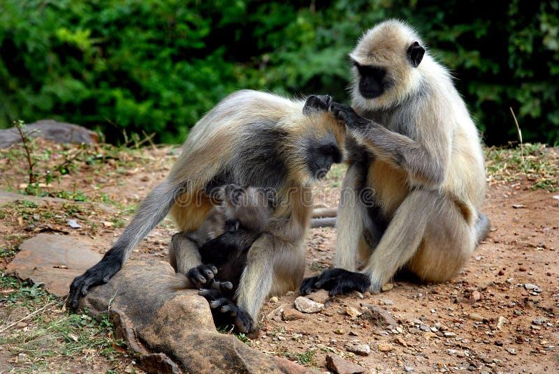 Família do macaco imagens de stock