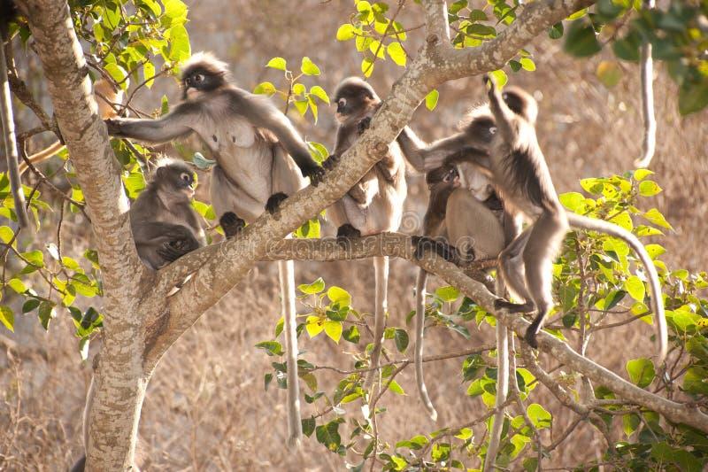 Família do macaco que senta-se no descanso da árvore (obscura reid de Presbytis). foto de stock